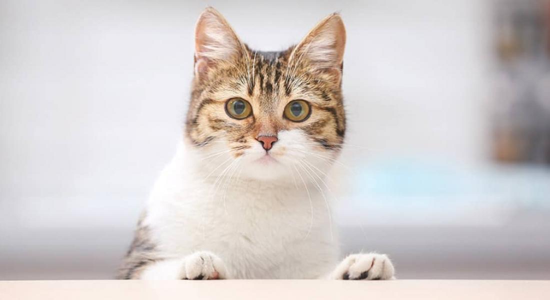 Feline Infectious Enteritis (Parvovirus, Panleukopenia Virus)