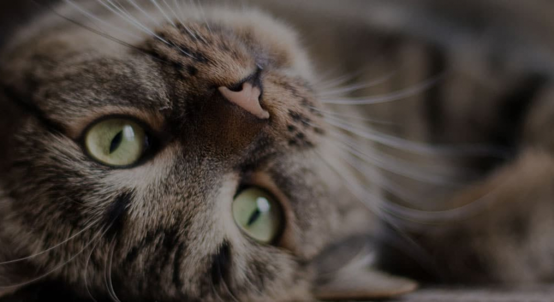 Feline Hyperthyroidism